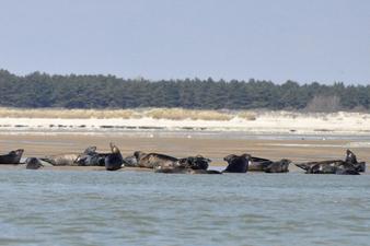 Observation des phoques en Baie de Somme