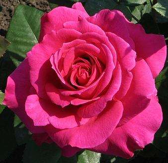 сорт розы Юрианда