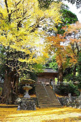 雷神社のイチョウ