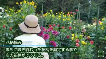 植え付け前に堆肥を土に混ぜ込む