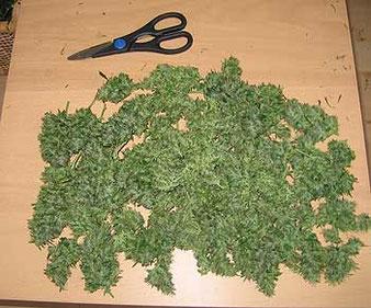 geerntete Cannabis Blüten