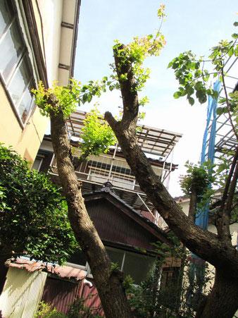 我が家の杏の木