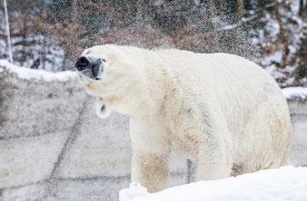 Fast unsichtbar: der Eisbär im winterlichen Tierpark Hellabrunn (Foto: Tierpark Hellabrunn 2017 / Marc Müller)