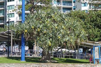 A pandanus tree on the Mooloolaba Esplanade