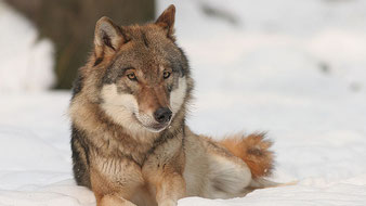 Wolf (Canis lupus), Foto: Bernard Landgraf, Lizenz: GFDL/CC BY-SA 3.0