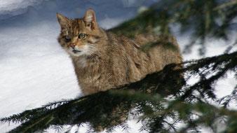 Europäische Wildkatze (Felis silvestris) [Foto: Aconcagua, Lizenz: CC BY-SA 3.0].