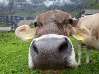 Kuh-Nase in Nahaufnahme