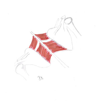 M. rhomboidei (bestehend aus: Rhomboideus minor + Rhomboideus major)