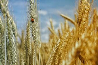 Gluten im Weizen