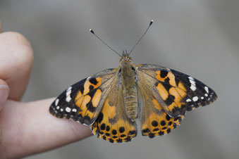 Lecoin-nature propose une sortie nature sur les papillons et autres insectes.