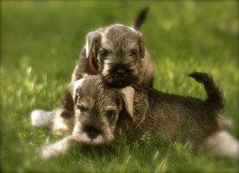 pups van 2015 (Nesthor en Noortje)