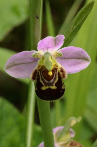 Bienen-Ragwurz, Ophrys apifera bei Bad Herrenalb (G. Franke, 14.06.18)