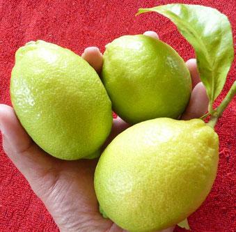 カンズフルーツ♪のレモン