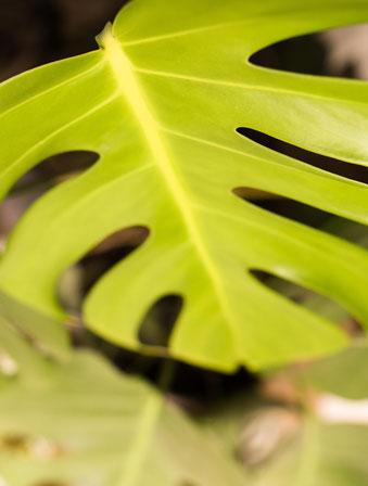 Einfach zu pflegende Zimmerpflanze: Monstera. RiekesBlog