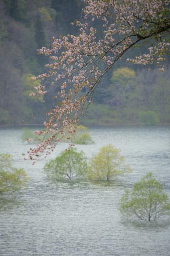 「川沿の桜」・薄曇りの川の中の樹木の上にしだれ桜の感じが良かった。紺野 知文