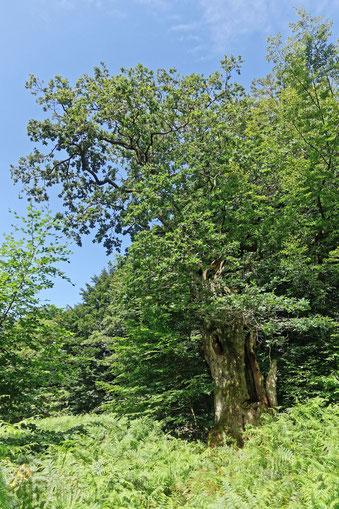 Eiche im Urwald Sababurg