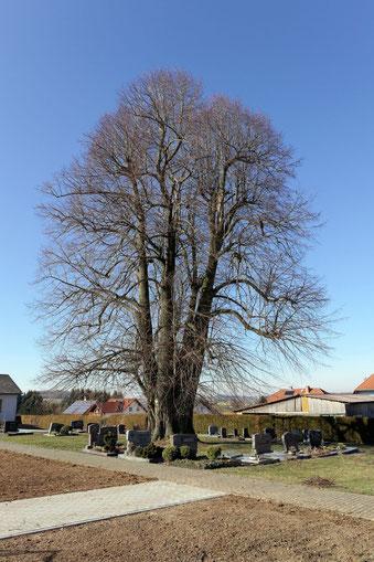 Alte Linde auf dem Friedhof bei Helfersdorf