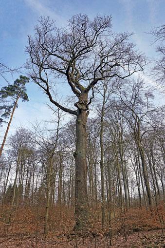 Königseiche im Fredeburger Forst bei Schmilau