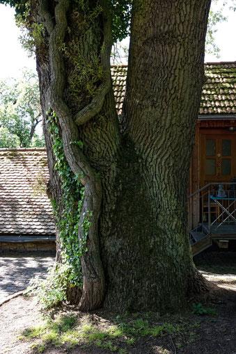 Eiche beim Schloss Friedelhausen