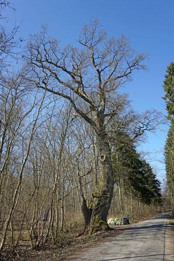 Eiche an der Zufahrt zum Forsthaus Helle bei Gut Sierhagen