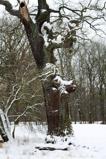 Eiche im Kühnauer Park in Großkühnau