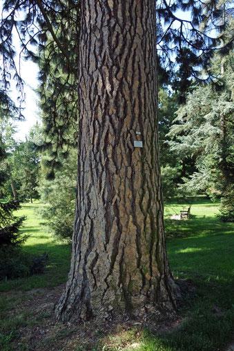 Gelbkiefer im Hohenheimer Garten in Hohenheim