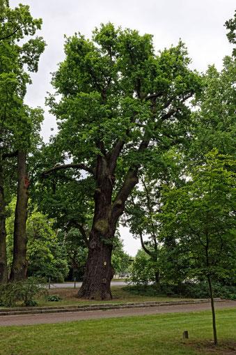 Steineiche im Stadtpark von Bad Liebenwerda