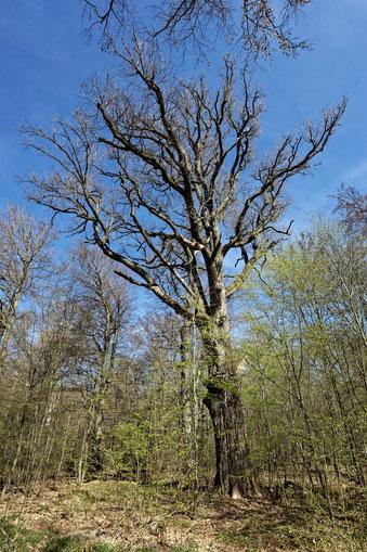 Trichtereiche im Rotwildpark Stuttgart