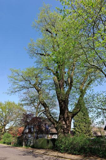 Mackensen-Eiche in Wennebostel