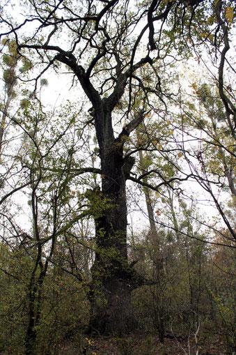 Zweite Eiche in den Elbauen bei Dessau südlich der Pelze