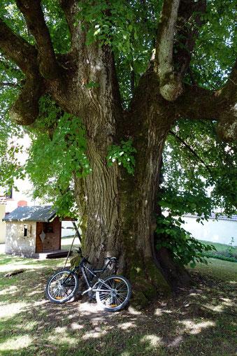 Linde im Schlosshof in Thalheim