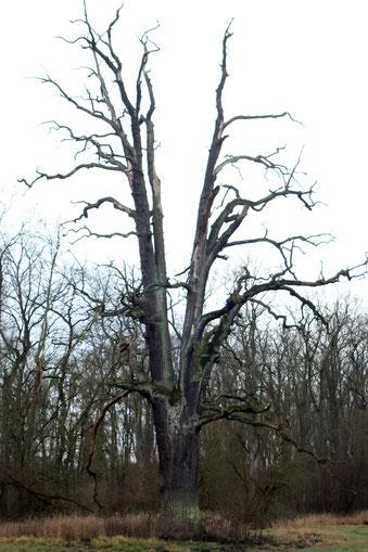 Abgestorbene Eiche im Severtin bei Wörlitz