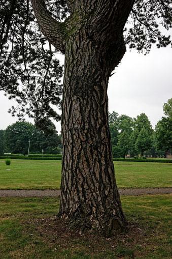 Schwarzkiefer im Herrenkrugpark in Magdeburg