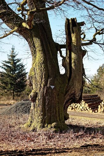 Ellbogenbaum bei Waldensberg