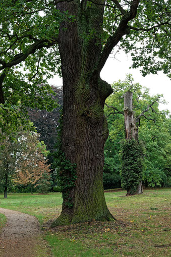 Eiche im Schlosspark Kropstädt