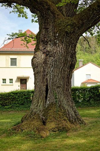 Eiche am Ehrenmal Albshausen