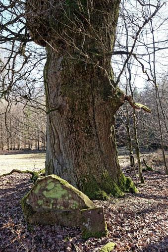Eiche im Büdinger Wald