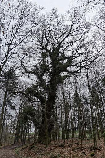 Eiche im Wald beim Gut Panker