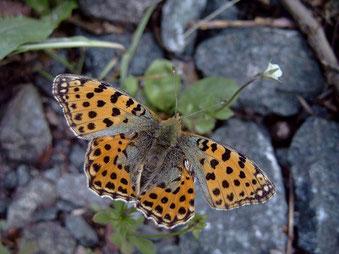 Kleiner Perlmutterfalter Issoria lathonia in Sachsen Tagfalter Pollrich