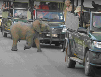 Kruger National Park: Elefantenjungbulle rüsselt bei den Safarigästen