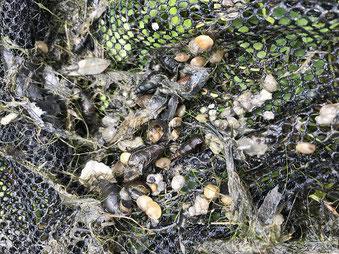 カワニナ以外の貝もいました