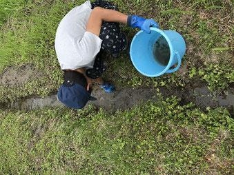 ホタルが増えてほしい水路に集めたカワニナを放ちます