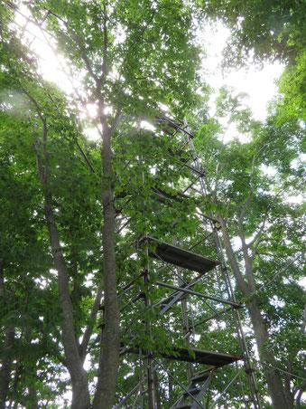 上部はブナ林の樹冠近くにまで達している。