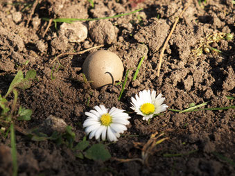 """""""Kleine Erde"""" Seedball – Saatball aus ungebranntem Ton mit Gänseblümchensamen."""