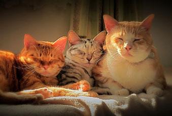 まどろむ猫さん 仲良しトリオ