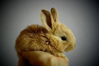 Photo d'un lapin nain