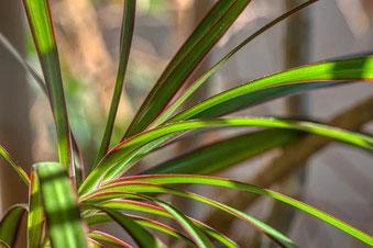 Vermehrung Drachenbaum durch Stecklinge