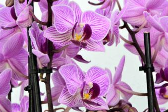 arrosage orchidée connecté avec OriCine® pour de belles fleurs