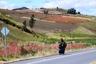 parmi les champs de quinoas rouges