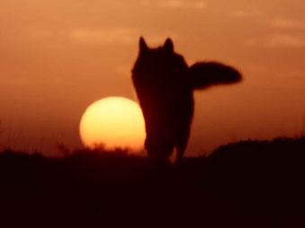 Lobo en una puesta de sol